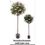 Rosenhochstamm, Farbe rosé
