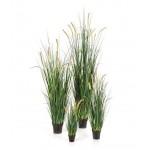 Foxtail Gras